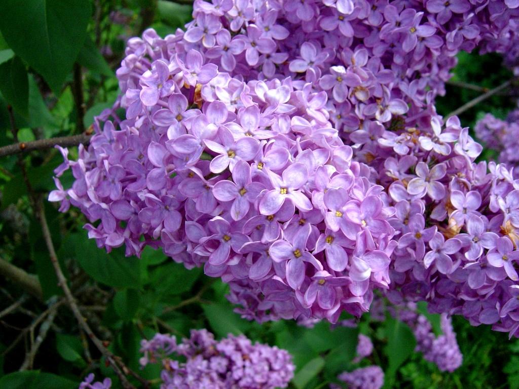 Lilacs stock